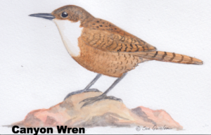 illustration of a Canyon Wren on a rock