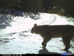 bobcat crossing snow at Lory State Park